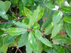 Bay laurel hedge